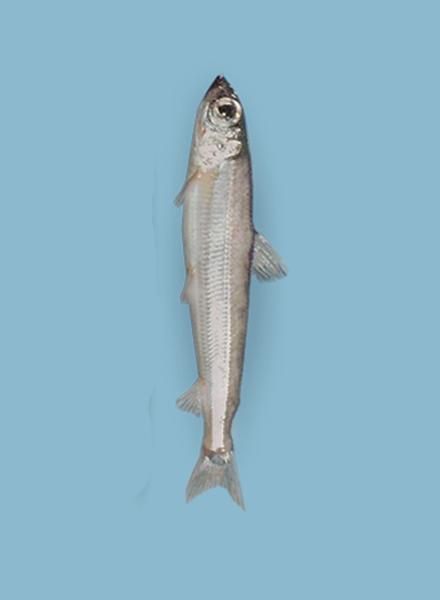 Морская корюшка (Argentina silus)